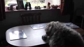 German Wirehaired Pointer Dog Taking Food From Table