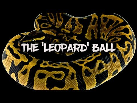 How to get your ball pythons to lock from YouTube · Duration:  7 minutes 21 seconds