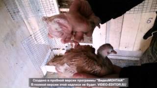 Бойные голуби Мелехова Александра г.Рязань