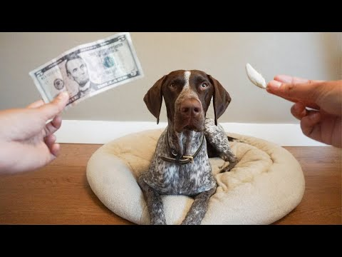 Tooth fairy paid me a visit | German Shorthaired Pointer