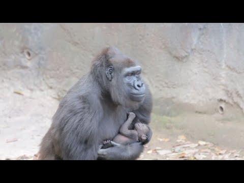 Zoo welcomes endangered gorilla baby
