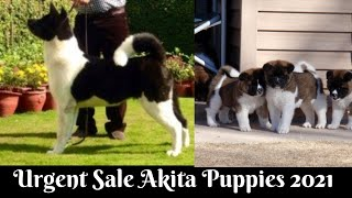 Urgent sale | Akita puppies | Akita puppies in india | by dogsbreedofficial 2021
