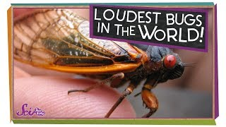 The Loudest Bugs in the World