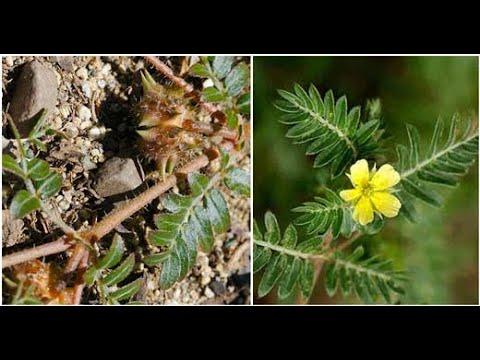 ما هي فوائد نبات الحسك