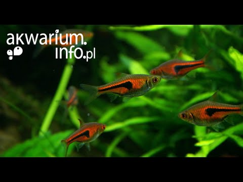 Species Profile # 17: The Harlequin Rasbora (Trigonosti ...