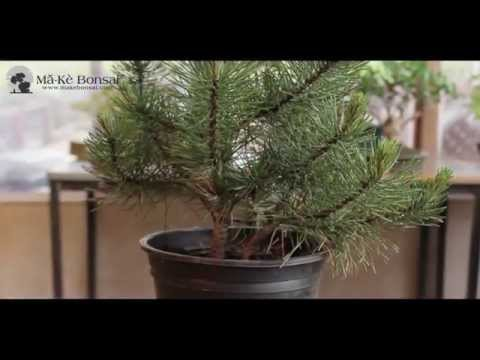 How to Create Bonsai from Garden Center Plants - Bonsai Trees for Beginners Series