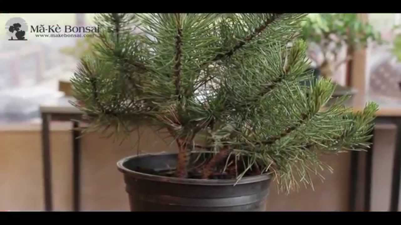 How To Make Bonsai Tree For Beginners From Garden Center Plants Youtube