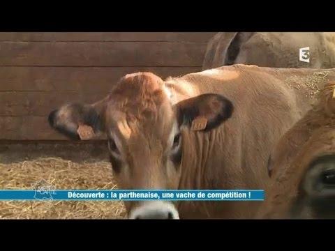 La Parthenaise, une vache de compétition !