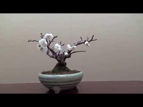 Plum Bonsai show in Japan ! Blossom. UME BON TEN 梅盆展 Part 4.