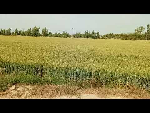SRS QASOOR KALAR LAND FOR WHEAT
