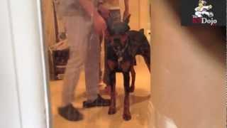 K9dojo: Toronto: Undersocilized  Dogs: Doberman Puppy