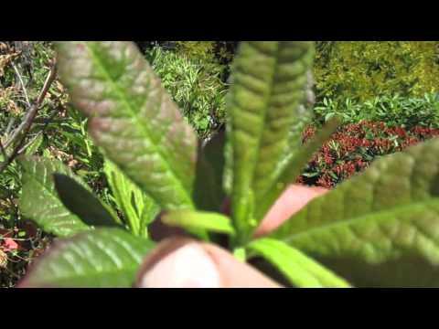Когда и чем кормить рододендроны Часть 1 Июньская подкормка