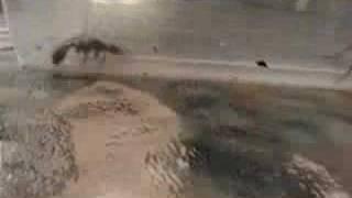 Inch Ant Vs Wolf Spider Part 1