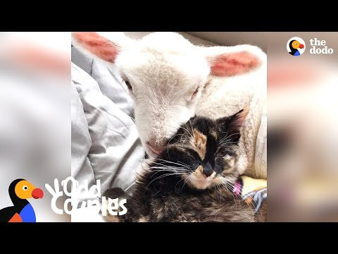 Cat Wants To Be Wherever Her Favorite Lamb Is - DORA & CHARLIE | The Dodo Odd Couples