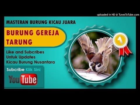 Download Masteran Suara Burung Gereja Tarung Durasi Panjang Kenceng