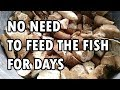 How to Keep Feeding Fish When You're in Vacation - for Koi, Goldfish & Tilapia