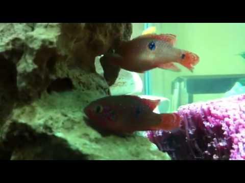 Red Jewel Cichlids Mating