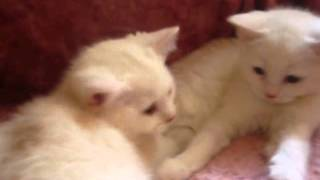Копия видео Котята Барса и Фаины