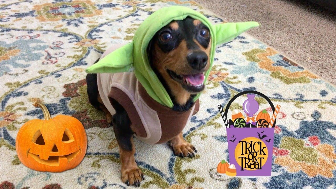 dachshund in cute halloween costume - youtube