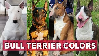 Types of Bull terrier colors and their role   Bull terrier colors