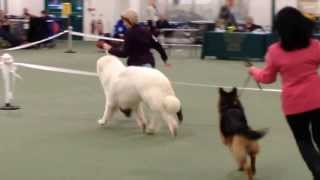 Pyrenean Mountain Dog wins Best in Show  Cheltenham Open Show  2014