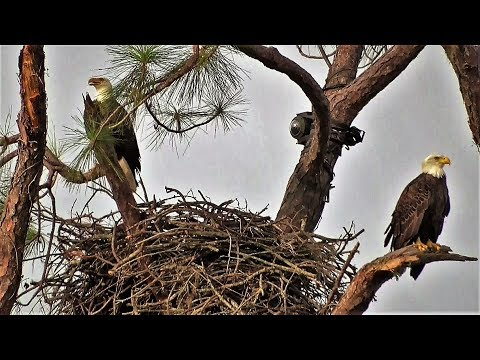 Thumbnail: SWFL Eagles_Bonding In The West Pasture~More Sticks~Galloping Horses 10-22-17