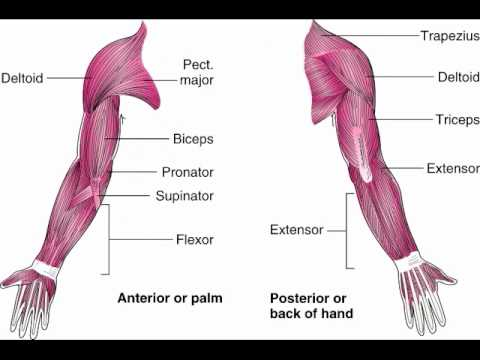Anatomy of the Arm and Hand - YouTube