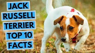 Jack Russell Terrier  TOP 10 Interesting Facts