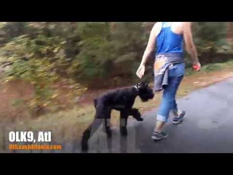 A little off leash heeling with a  giant schnauzer pup! | Best Dog Training in Georgia