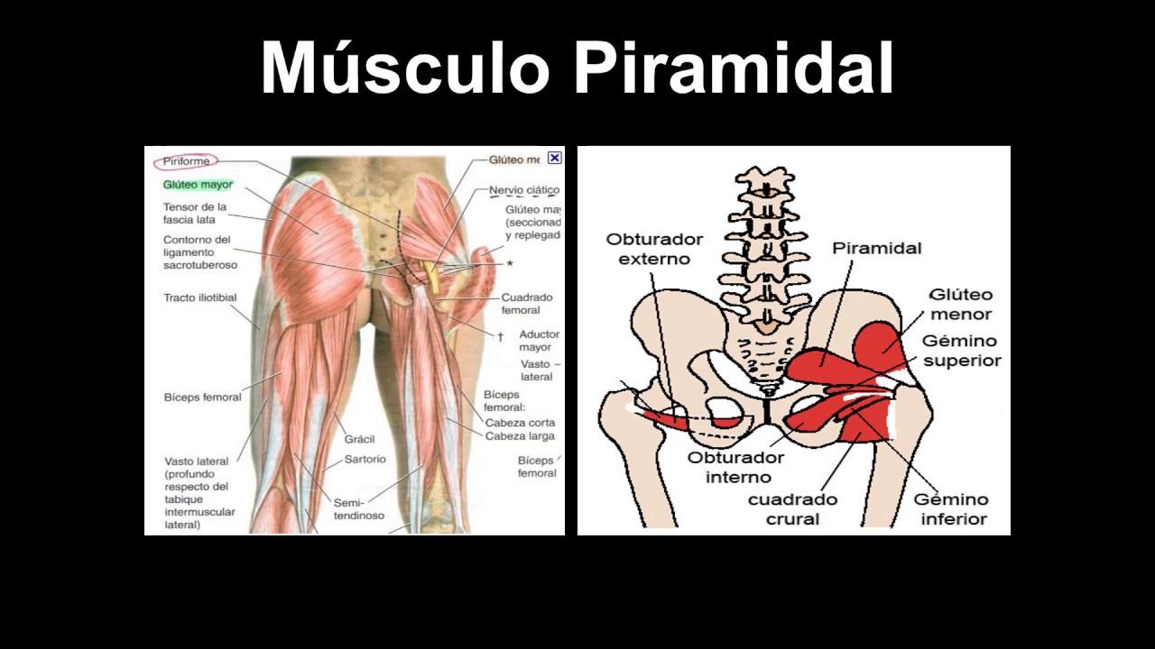 Músculos de la cintura pelvica - YouTube