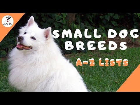 All Small Dog Breeds (AZ ) With Pictures