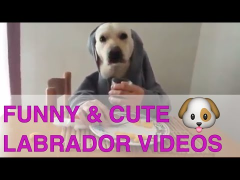 "Undeniably Cute & Funny Labrador Retriever Dogs and Puppies Compilation - ""BEST ONES"""