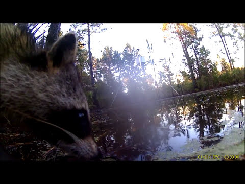 Wild Hog Hunt Florida West Shore Outfitters  OCTOBER 2015