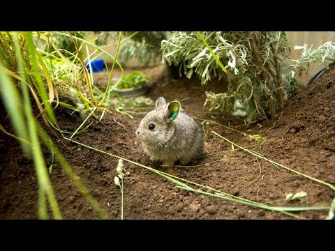 Saving the Columbia Basin pygmy rabbit
