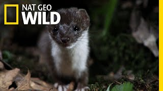 This Weasel Is an Insatiable Serial Killer | Nat Geo Wild