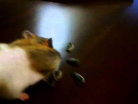 hamster'ımın çekirdek ziyafeti
