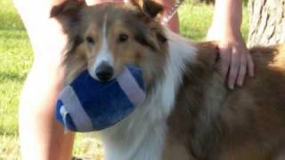 I love Shelties! :) 4 Thumbnail