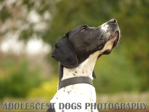 Dash – English Pointer – 4 Week Residential Dog Training at Adolescent Dogs