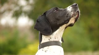 Dash - English Pointer - 4 Week Residential Dog Training At Adolescent Dogs