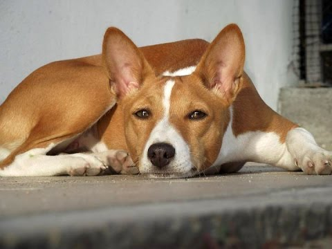 Basenji / Dog Breed