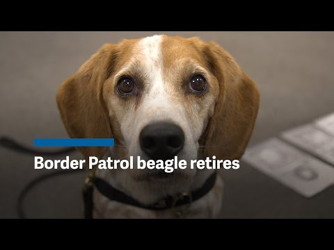 Border Patrol beagle retires