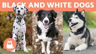 10 BLACK and WHITE DOG BREEDS 🐶🐾