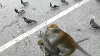 Monkeys at Cao tan Quan in Thailand Thumbnail