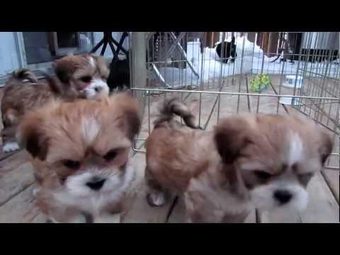 Podgypaws Lhasa Apso Puppies - 33
