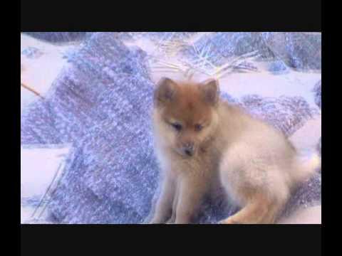 Бельгийская овчарка Малинуа. Планета собак 🌏 Моя Планета - YouTube