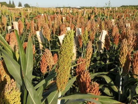 Understanding the Benefits of Sorghum Silage for California Dairies