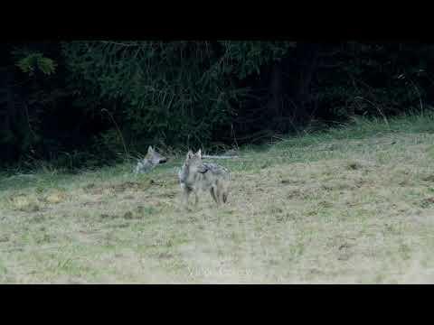 Vlci - video Čergov