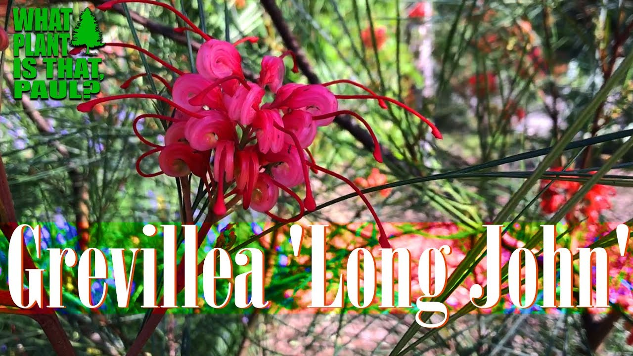 Grevillea Long John Is A Beautiful Shrub Grown For Its