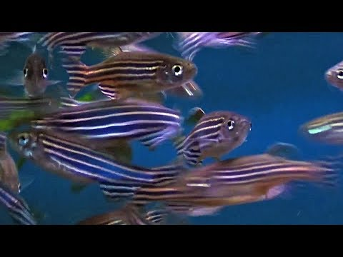 How Zebrafish Are Helping Genetic Researchers Find New Treatments For Human Disease