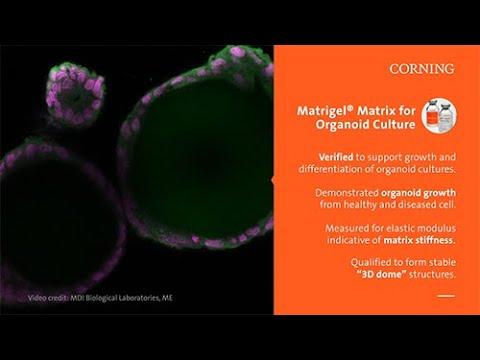 Corning Matrigel® Matrix® for Organoid Culture Dome Method Protocol